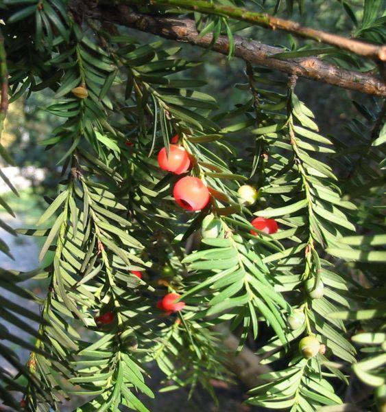 Kvister med røde bær