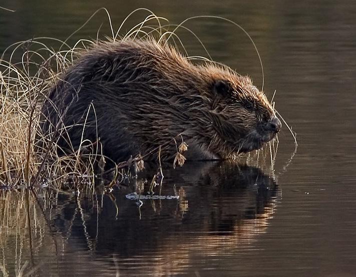 Bever sitter i vannkanten. Foto.