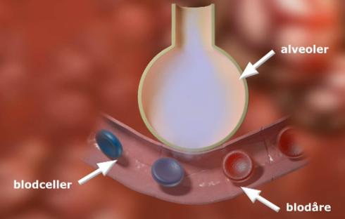 Alveolene. illustrasjon.
