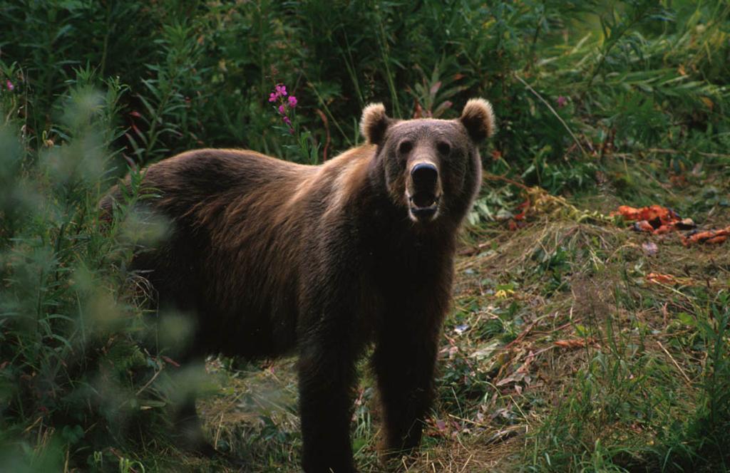 brunbjørn.foto.