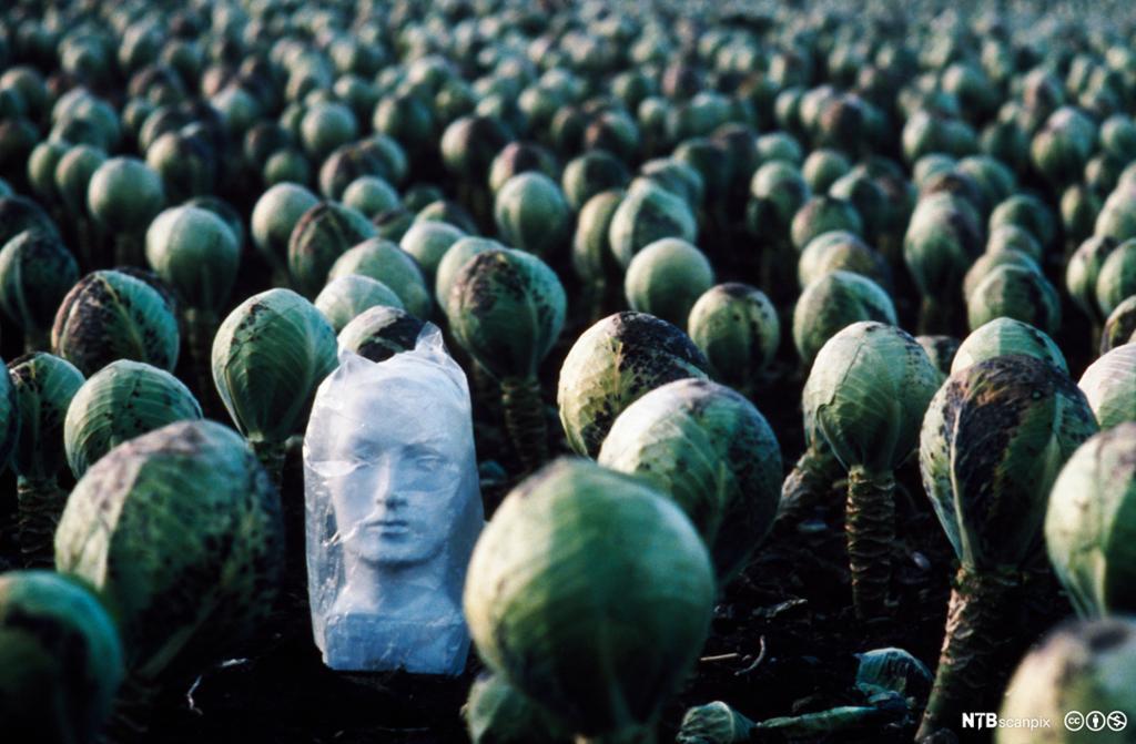 Et skulpturhode plassert midt i en åker med hodekål. Foto.