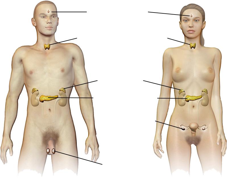 Oversikt over de endokrine kjertlene hos mann og kvinne