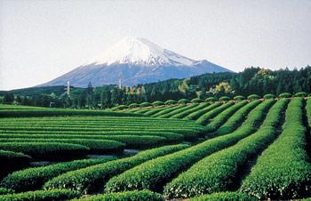 Bilde av en te plantasje