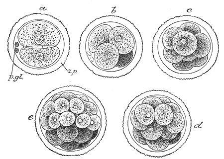 Utvikling til embryo. Illustrasjon.