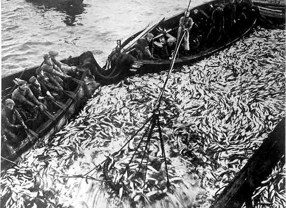 Sildefiske. Foto.