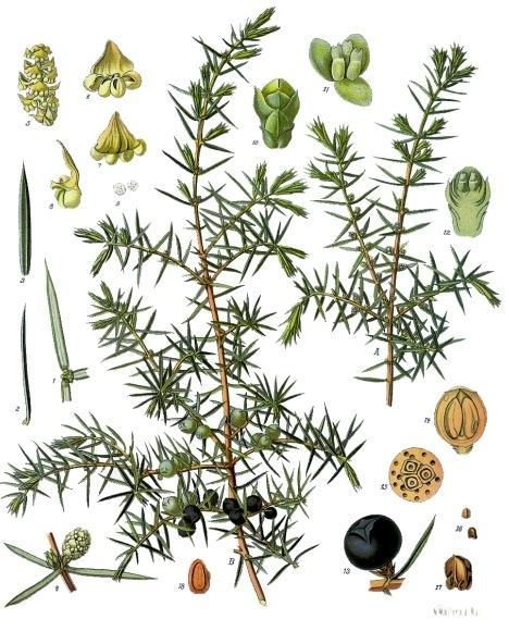 kvister, bærkongler, nåler og frø