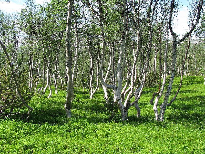 Fjellbjørkeskog. Foto.