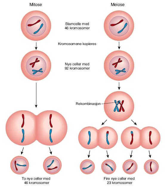 Mitose og meiose. Illustrasjon.