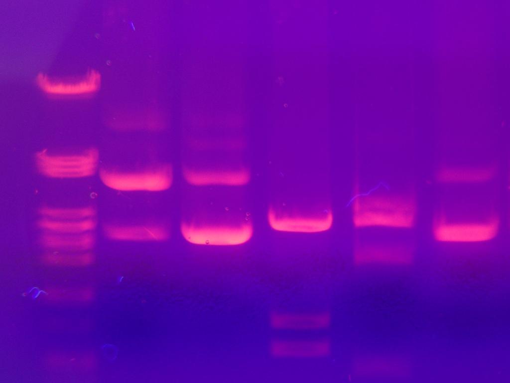 DNA-fingeravtrykk. Illustrasjon.