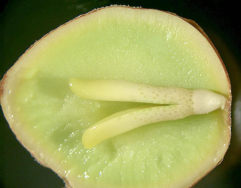 Tverrsnitt av plantefrø. Foto.