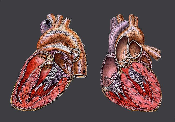 Hjertets anatomi. Illustrasjon.