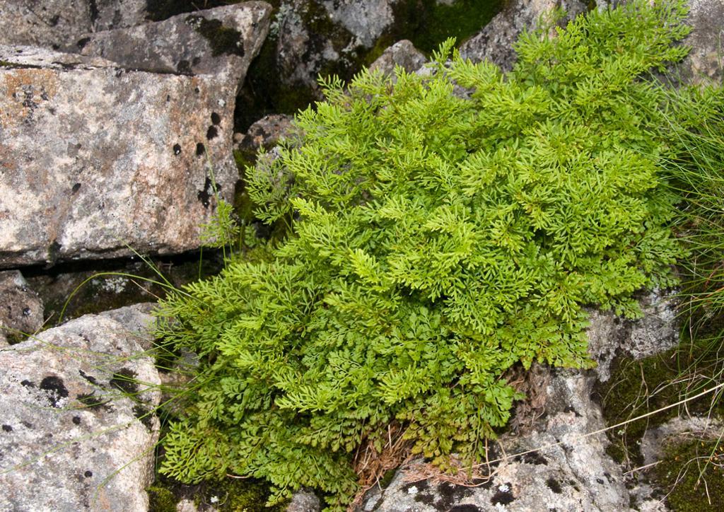 grønn klatt mellom gråstein. Foto