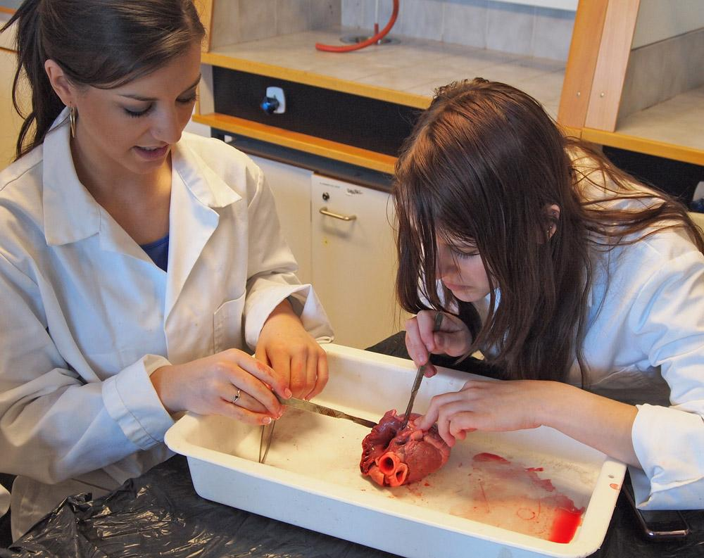 Elever dissekerer grisehjerte. Foto.