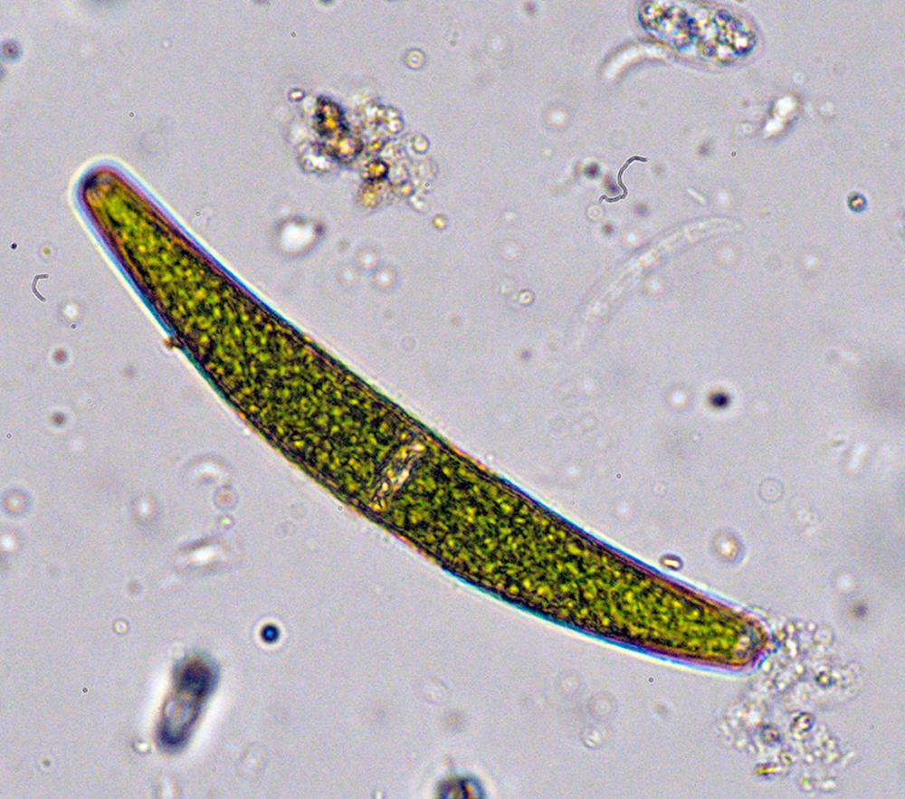 Planteplankton, avlang og grøn. Foto.