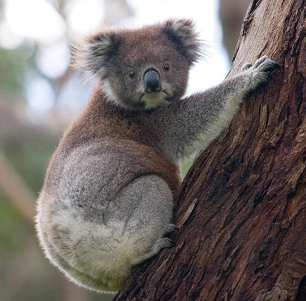 Koalabjørn klatrer i tre. Foto