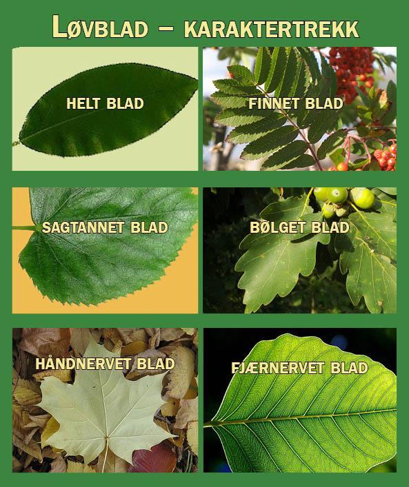 Bilder av ulike bladformer. Fotomontasje.
