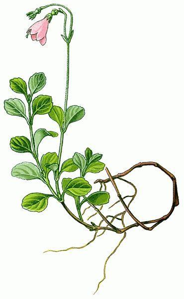 Bilde av planten Linnaea borealis