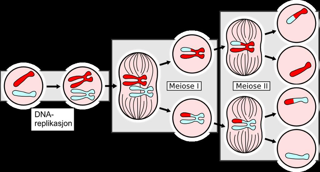 Gener bytter plass ved meiosen. Modell.