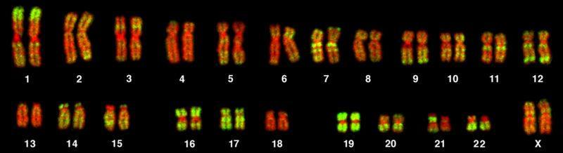 menneskets genom – kromosomer stilt opp parvis. Foto.