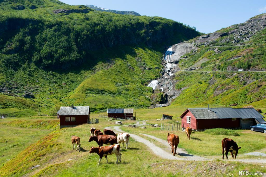 Kyr på fjellbeite med seter og elv i bakgrunnen. Foto.