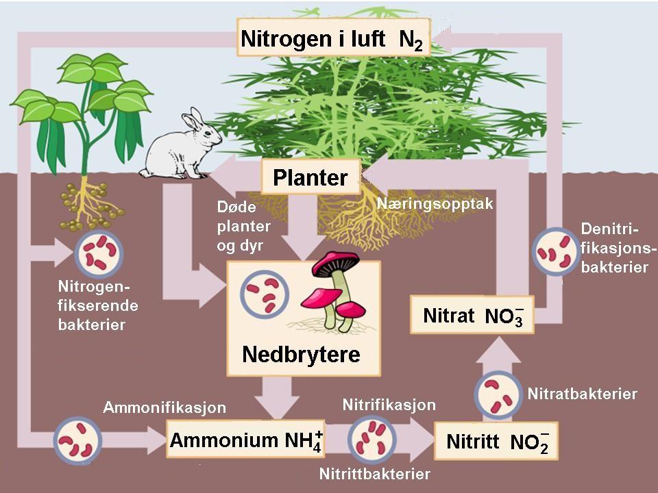 Kretsløp nitrogen. Illustrasjon.