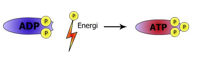 Opplading av ATP. Illustrasjon.