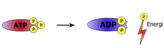 Spalting av ATP. Illustrasjon.