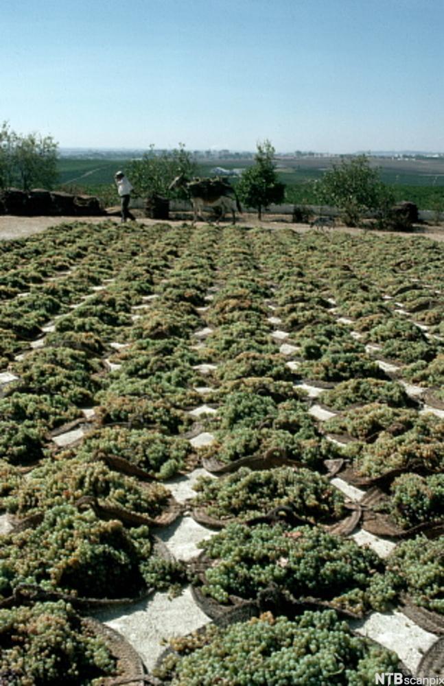 Hauger med innhøstede sherrydruer. Foto.