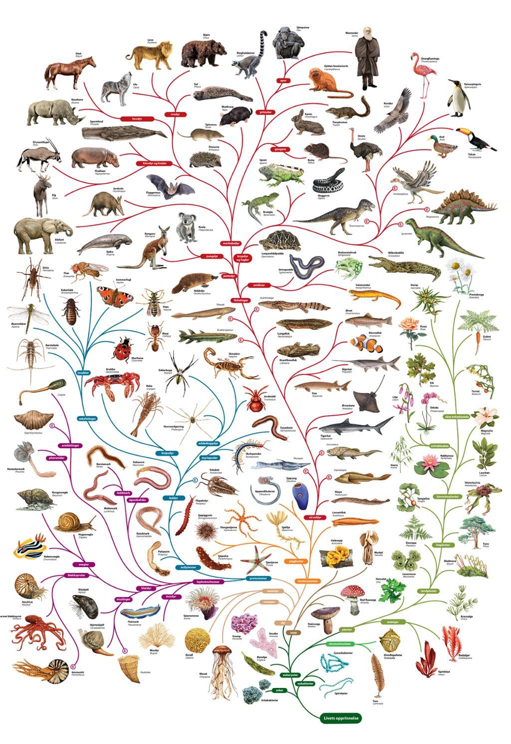 Plansje som viser slektskapet mellom grupper av organismer gjennom evolusjonen. Grafikk
