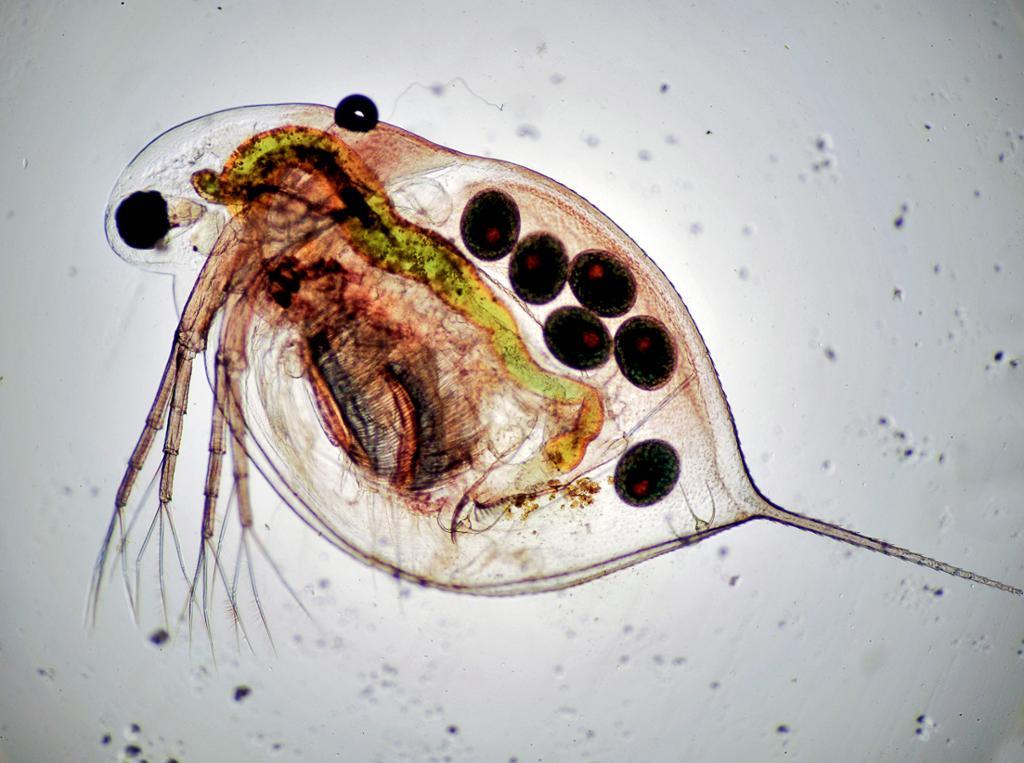 Dyreplankton. Foto.