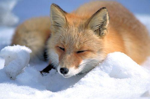 Rødrev som ligger på snøen og sover. Foto.
