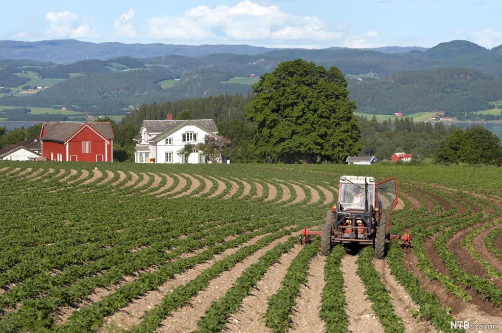 Traktor i potetåker. Foto.