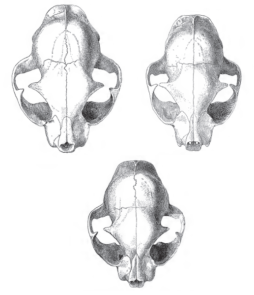 Tegninger av tre hodeskaller. Skallen til en villkatt er størst, skallen til tamkatt er minst, og skallen til en hybrid mellom de to er mellomstor. Illustrasjon.