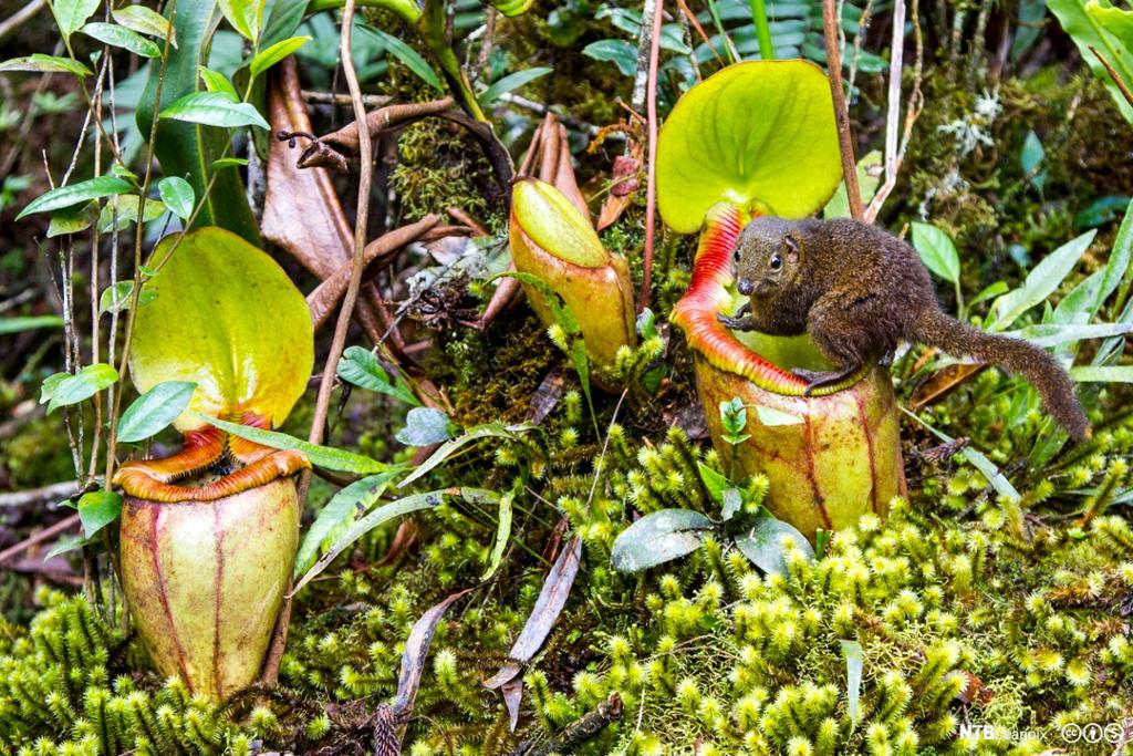 Trespissmus drikker nektar fra kannebærerplante. Foto.