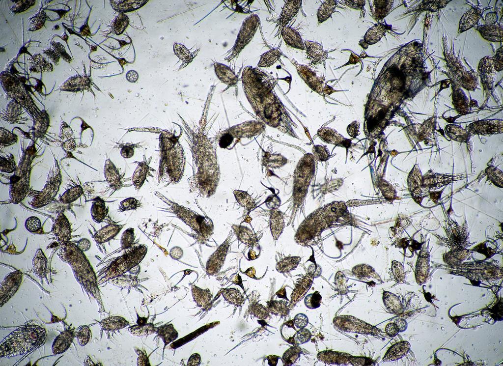 Vannprøve med mye plankton. Foto.