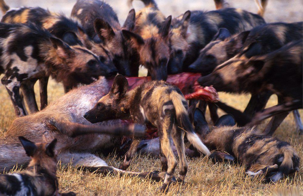 En flokk med afrikanske villhunder som spiser på sitt bytte