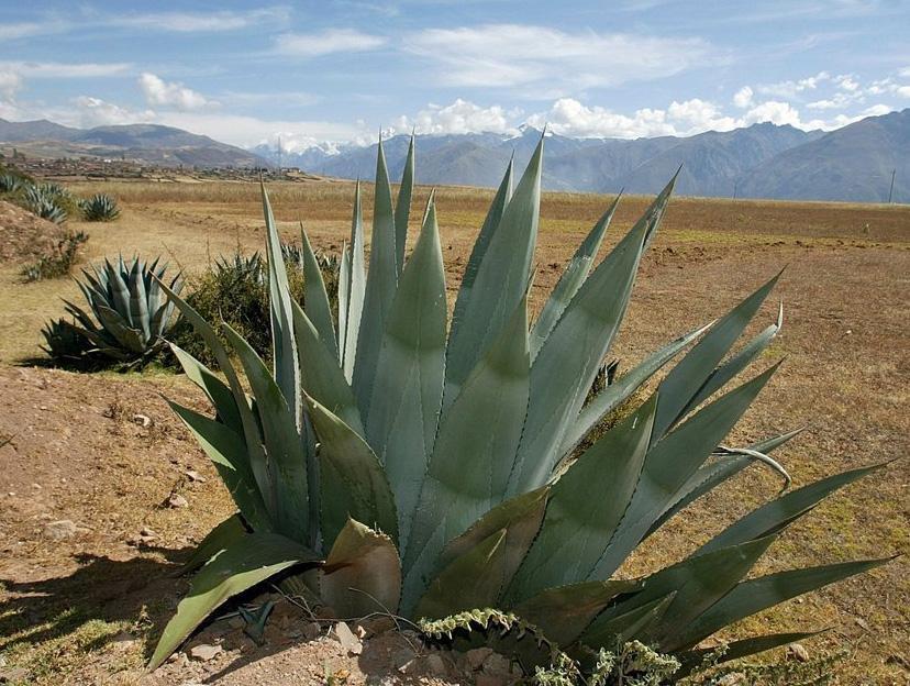 Agarve plante i ørkenen. Foto.