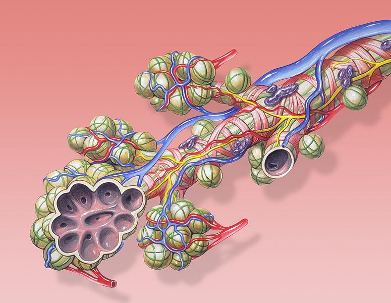 Bronkioler og alveoler som ser ut som små blærer i klaser. Ilustrasjon.