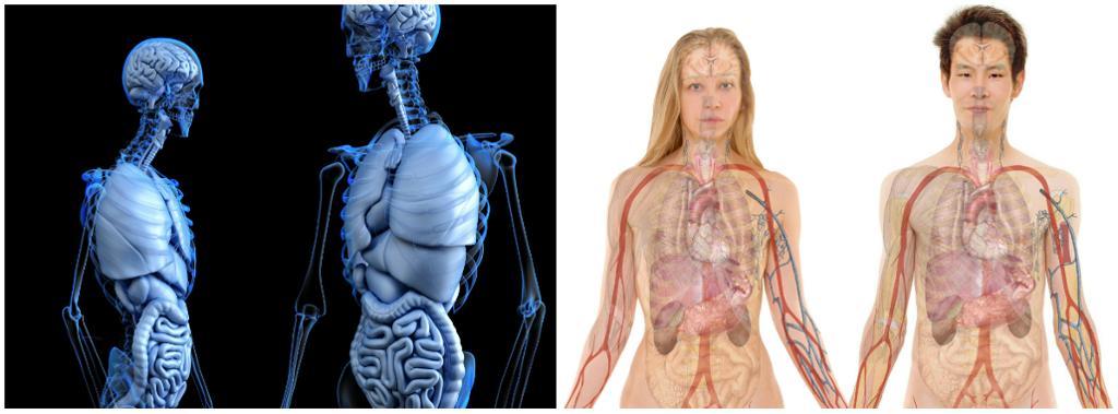 Anatomien til menneskekroppen. Illustrasjon.