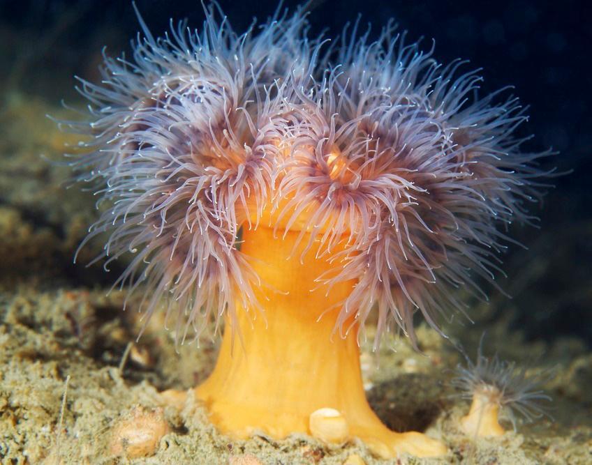 Sjøanemone på bunnen av Kvitehavet
