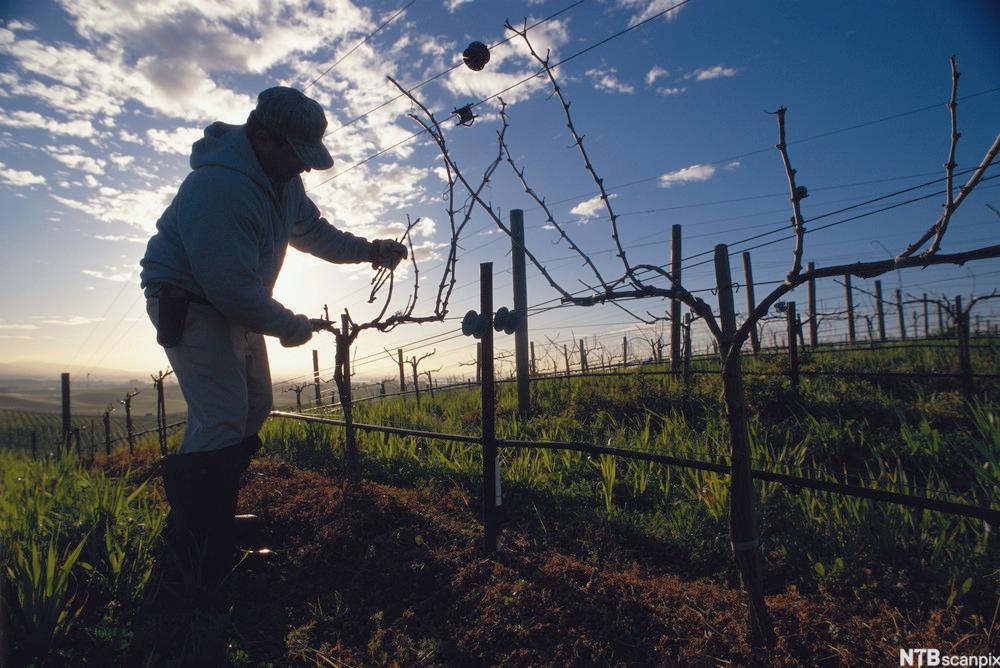 Beskjæring av drueplanter på Robert Mondavi vingård i Carneros Valley