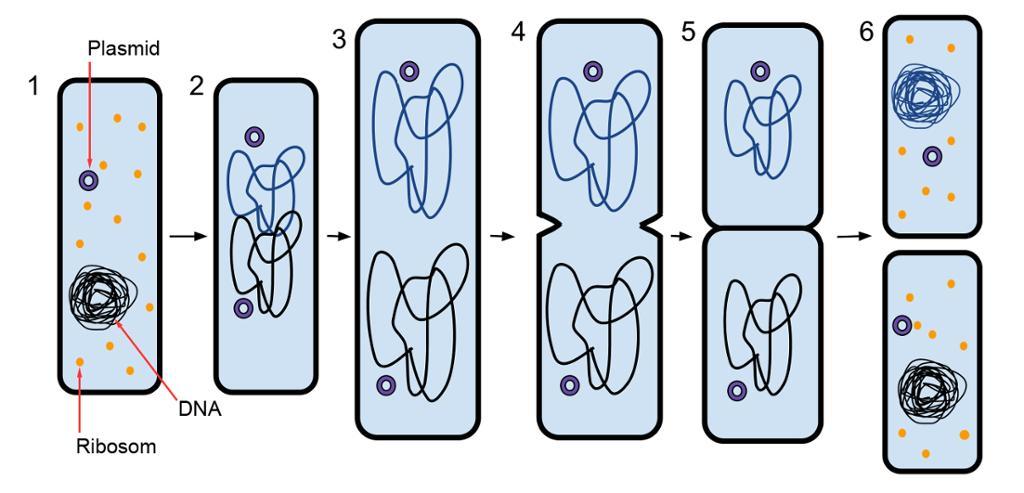 En bakterie deler seg ved binær fisjon
