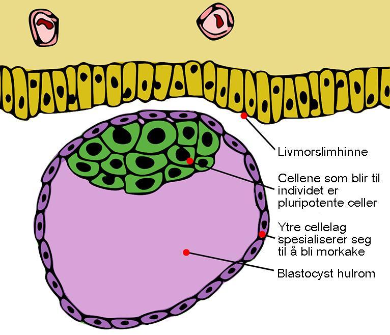 Celleklump i livmor – tidlig stadium i fosterutvikling. Illustrasjon.