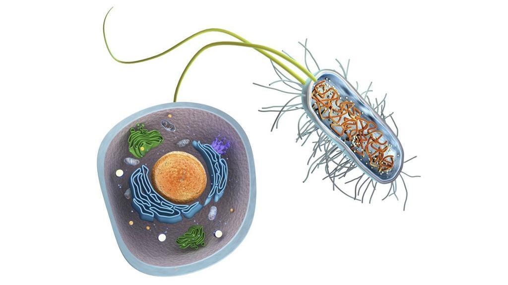Prokaryote celler (bakterier) har ingen cellekjerne eller andre organeller med membraner rundt.