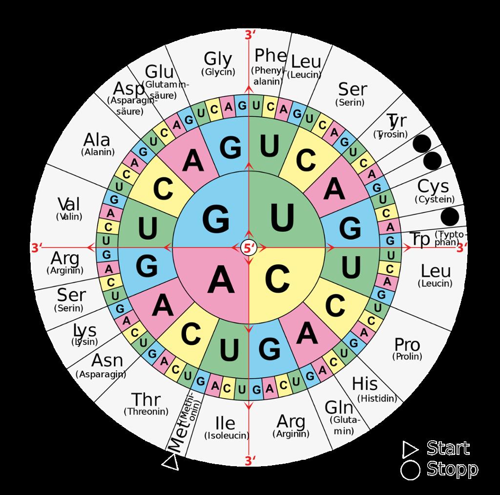 Oversikt over hvilke tripletter i mRNA som koder for de ulike aminosyrene. Tabell.