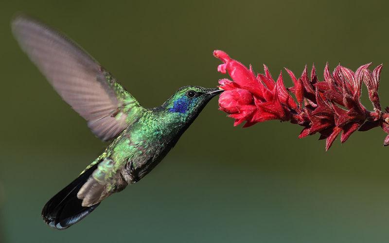 Kolibri som drikker nektar fra blomst. Foto