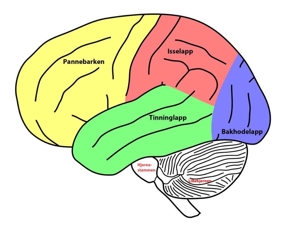 Tegnet hjerne med fargede felt.
