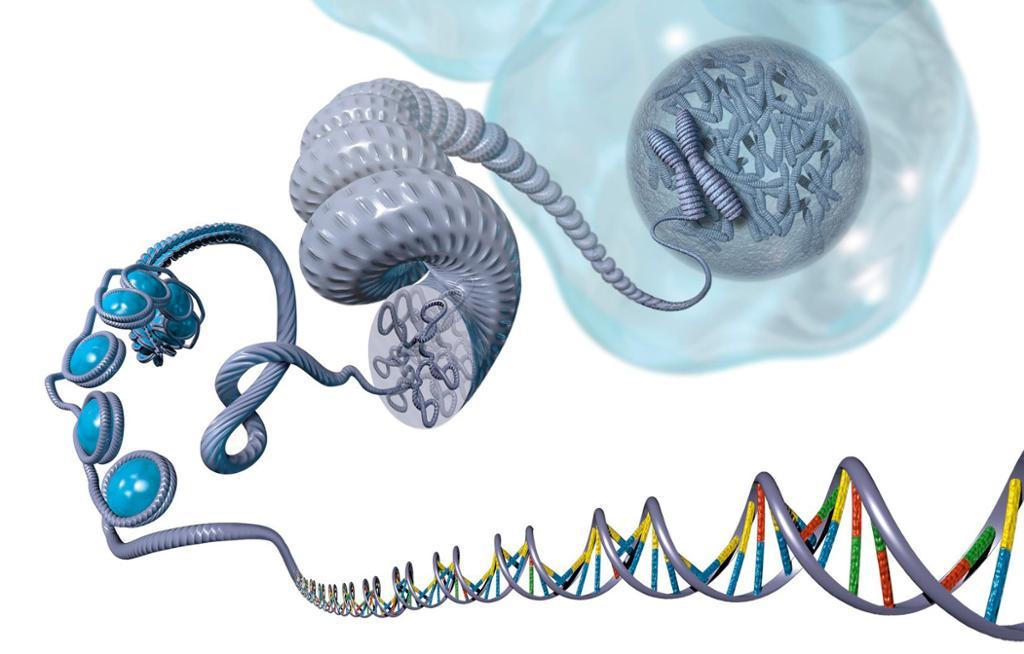 DNA trinnvis utbrettet fra kompakt kromosom til DNA-tråd. Illustrasjon.