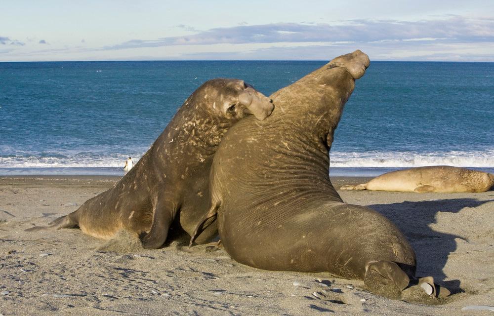 Elefant seler som slåss om hunnens gunst. Foto.