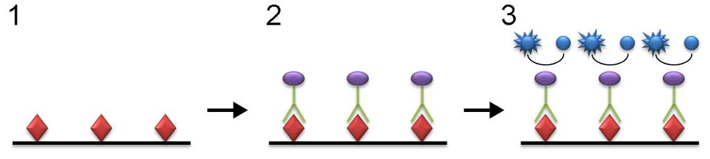 Plansje som viser hvordan antigen (virus), antistoff og enzym er bundet sammen på testplaten.